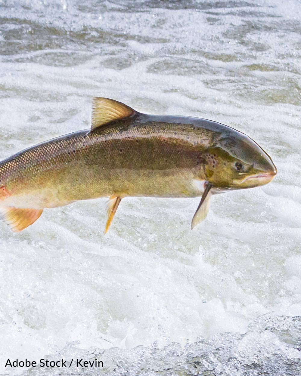 A US Court previously found the FDA's approval of genetically engineered salmon to be unlawful.