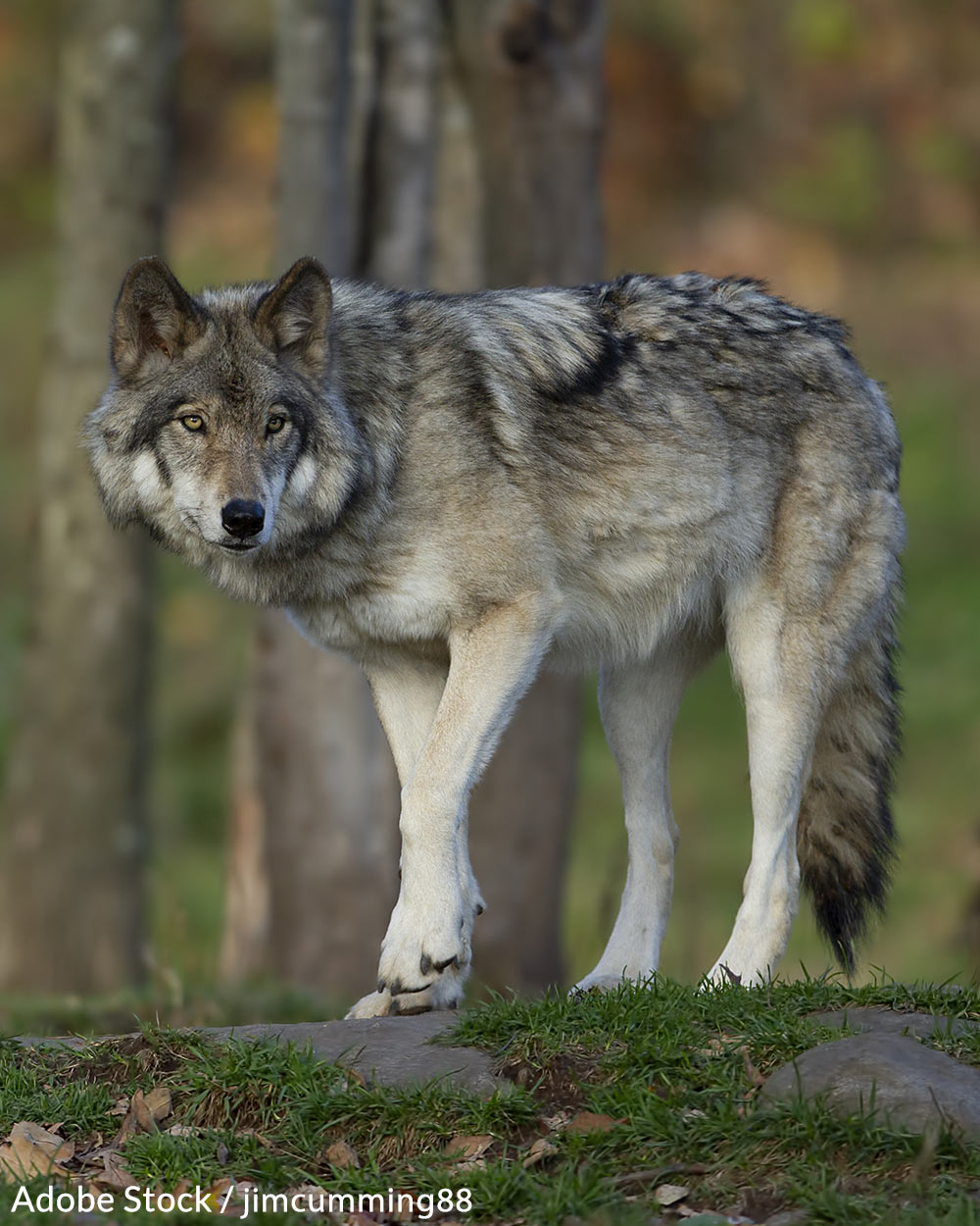 Idaho's Planned Wolf Cull Could Eliminate 90% of The State's Wolf Population