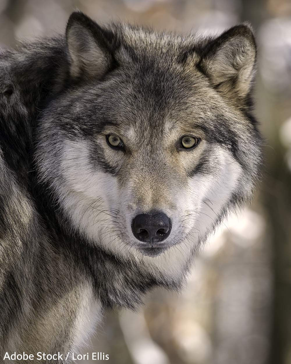 The state of Idaho wants to bring wolf populations down to 150 animals.