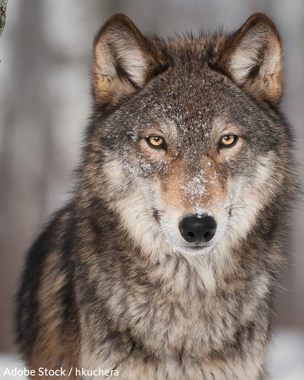 Help us stop the wolf slaughter in Idaho!