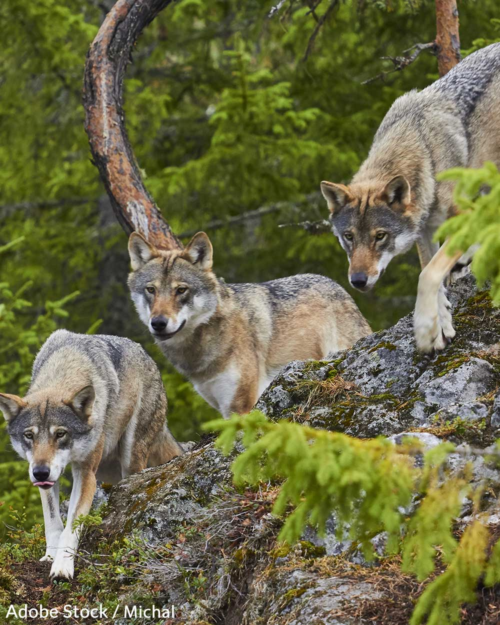 Idaho's planned wolf hunt has drawn ire from animal rights groups.