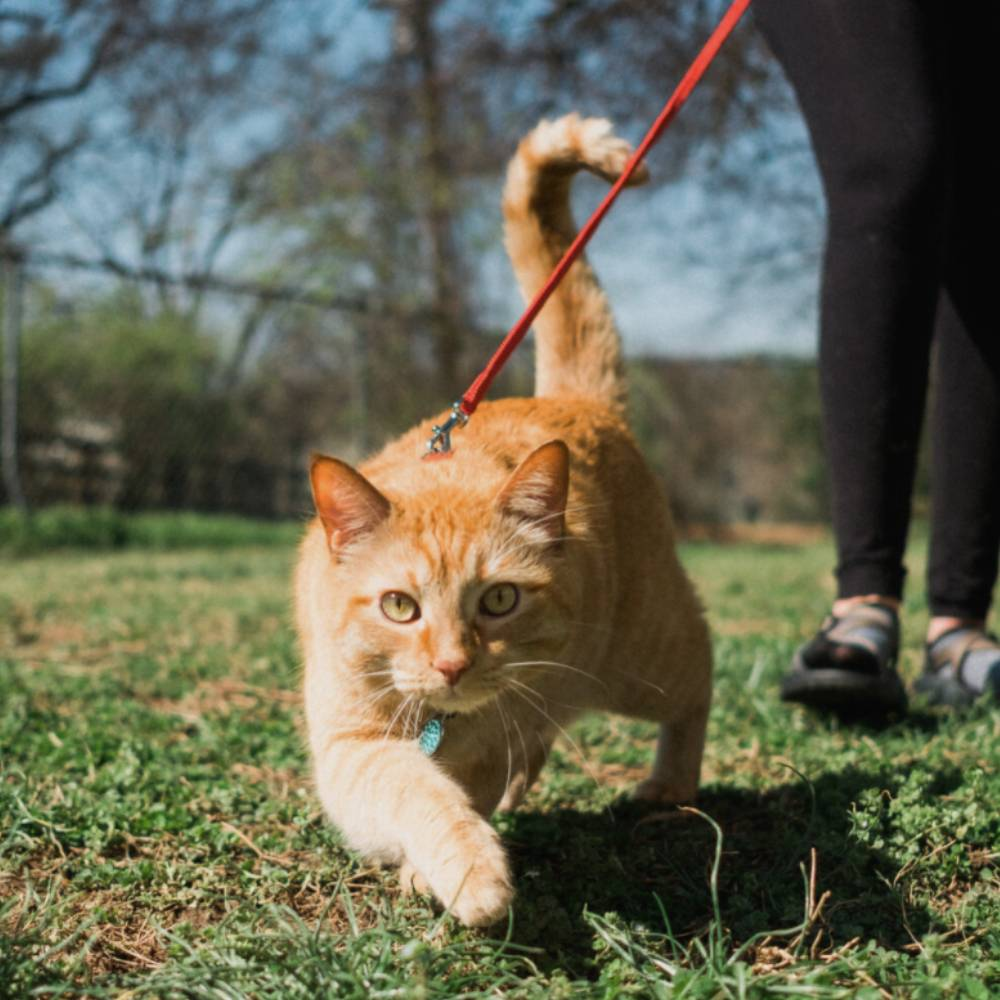 Woman Opens Training Camp To Teach Cats To Walk On Leashes