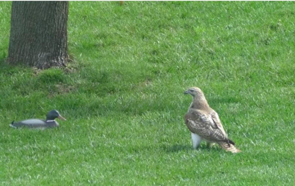 Hawk Baffled By Unresponsive 'Duck'