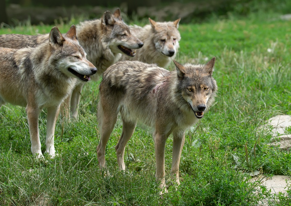 Wolf Population In Idaho Will Be Decimated By Hunters After Governor Signs Bill Allowing 90% To Be Killed