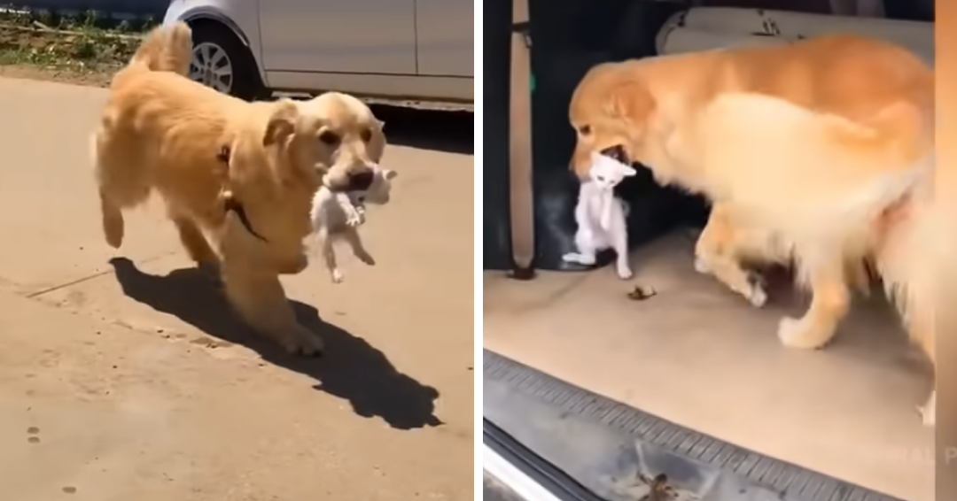 Golden Retriever Rescues Stray Kitten And Steps In As Its New Mom