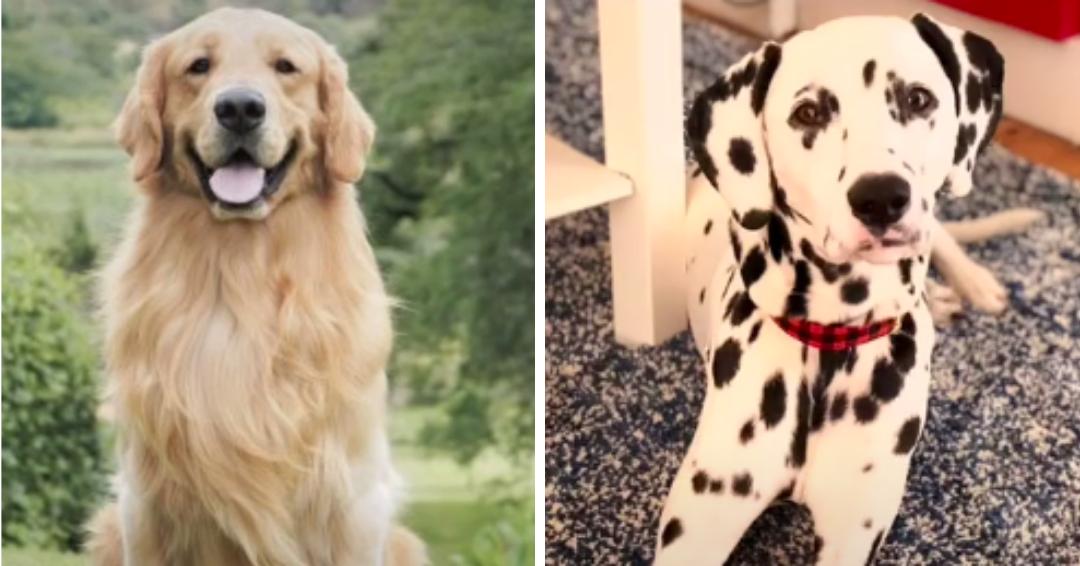 Meet Oakley, The Long-Haired Dalmatian That Looks Like A Golden Retriever