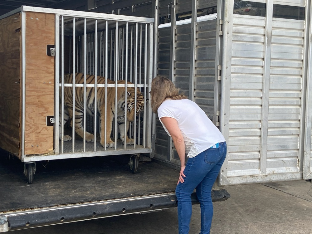Loose Tiger In Houston Finds Forever Home At Big Cat Sanctuary