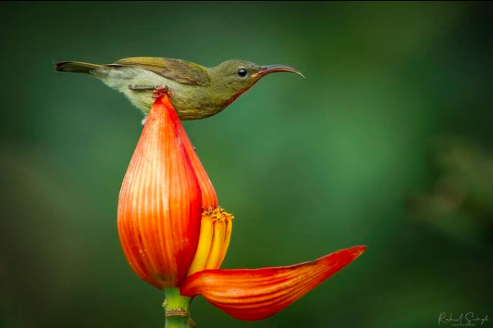 Little Sunbird Spotted Bathing In Flower Petal