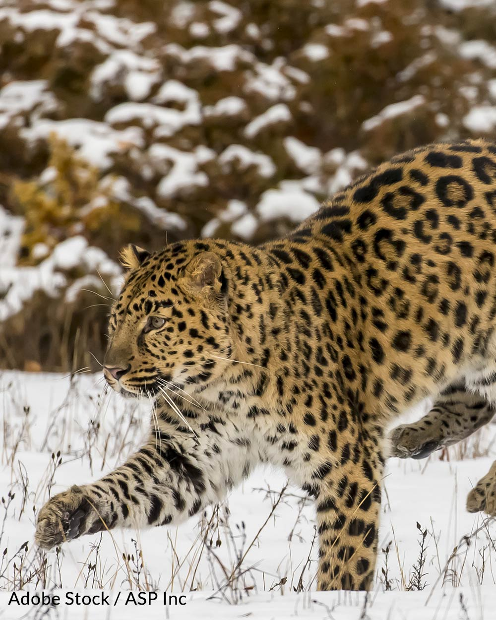 Amur leopards are targeted by poachers and losing their natural habitat at an alarming rate.