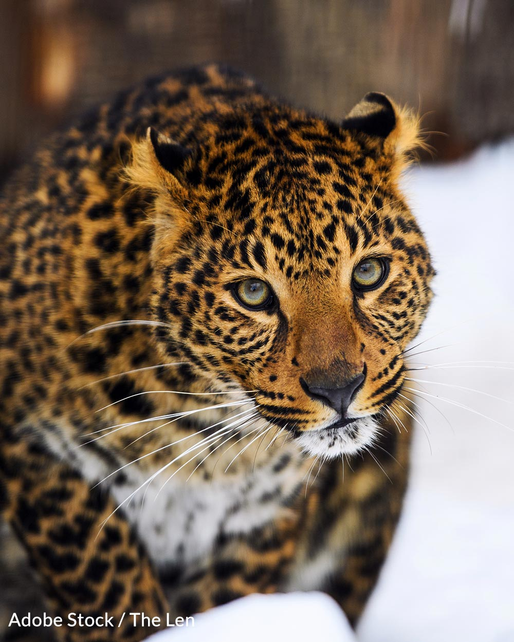 Amur  leopards are poached for their skins and bones.