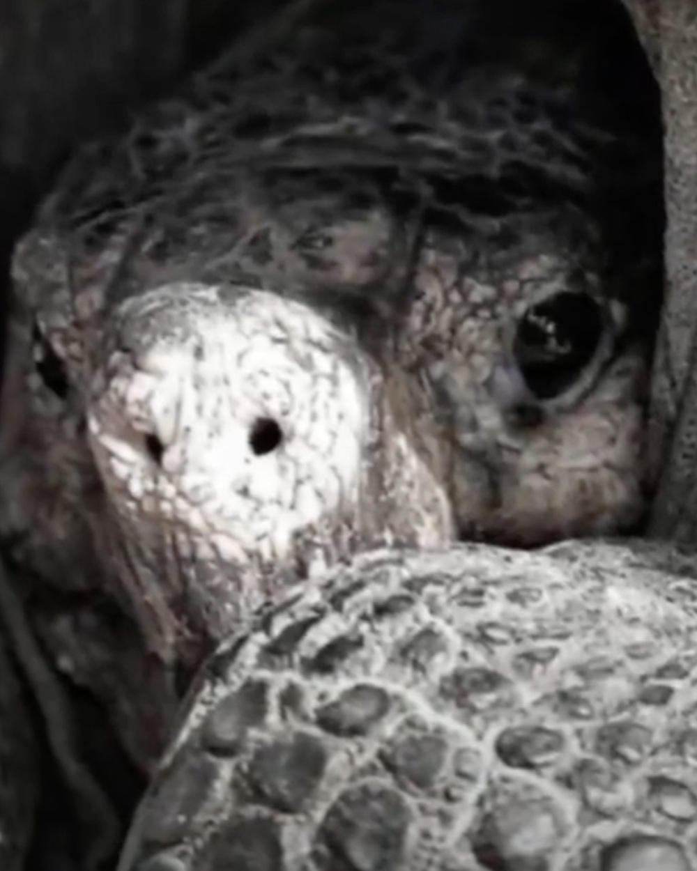 It is hoped that Fernanda will be able to mate with a male giant tortoise and produce healthy offspring.