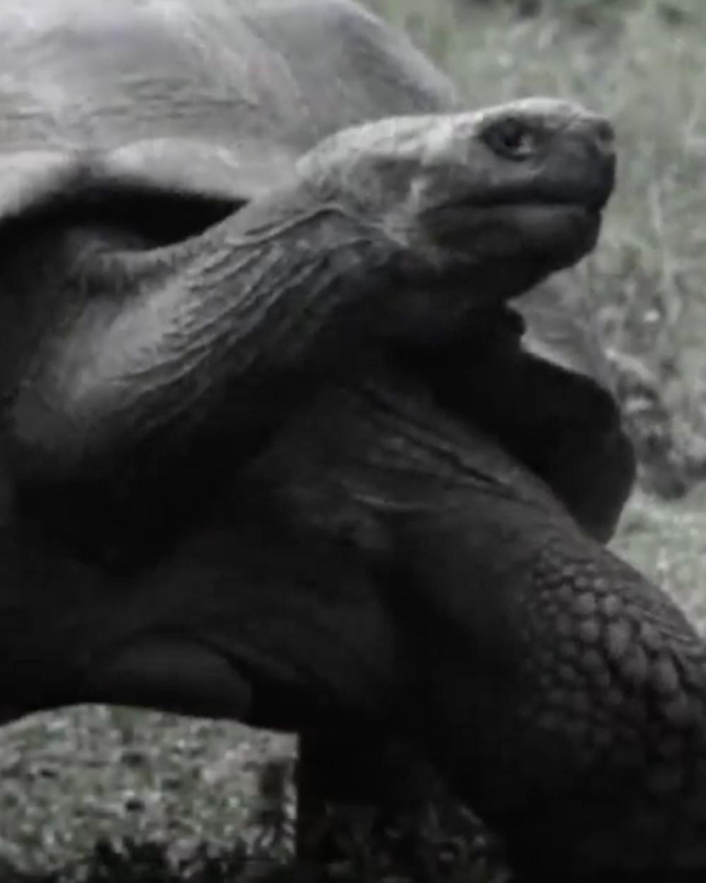 Before Fernanda, the last giant tortoise seen on Fernandina Island was recorded in 1906.