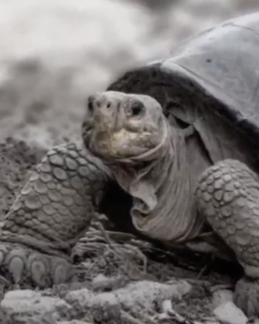 Giant Tortoises were thought to have gone extinct on Fernandina Island.