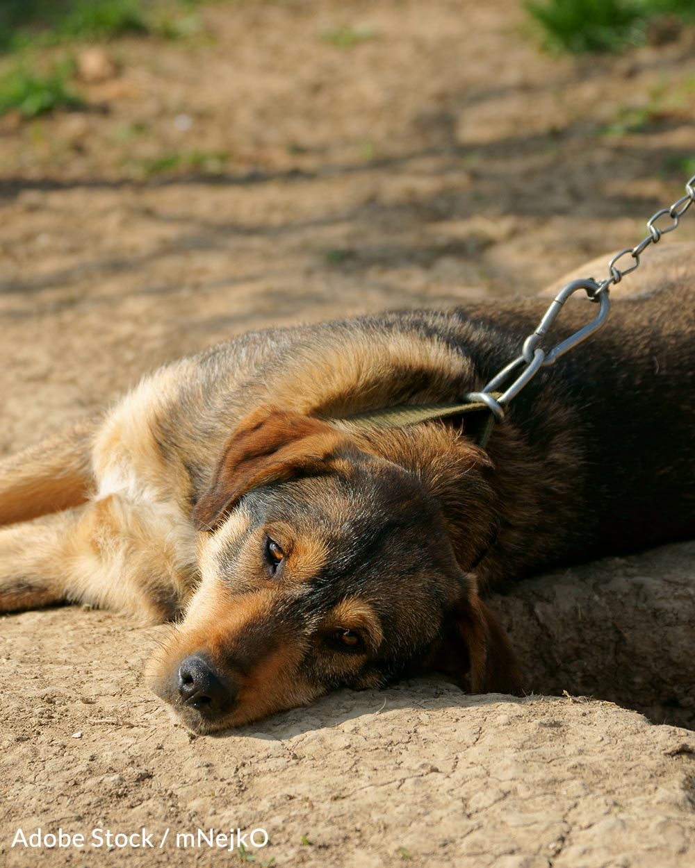 The Safe Outdoor Dogs Act would have made it a misdemeanor to leave a dog chained up without food, water, or shelter.