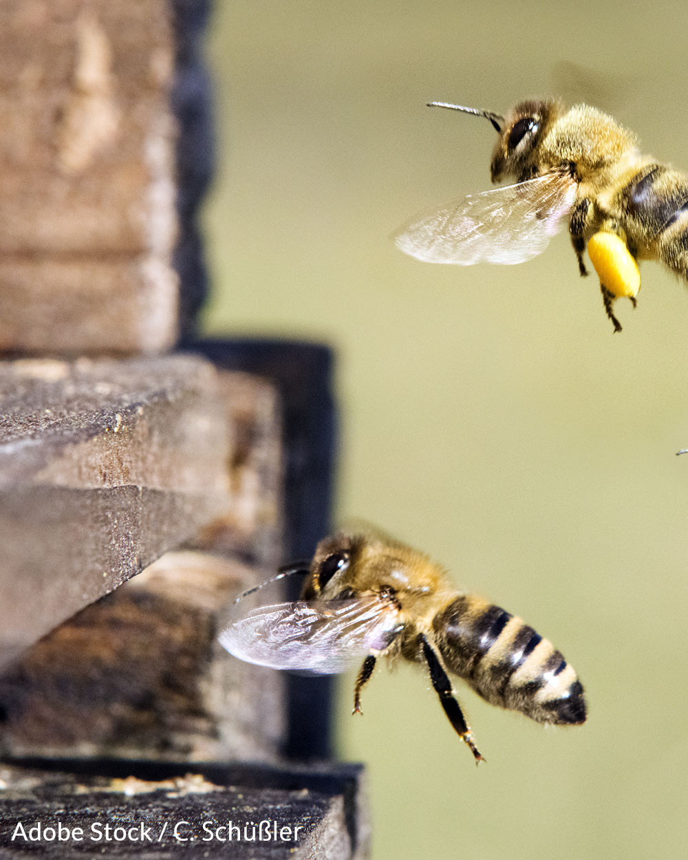 Honeybees are disappearing faster than they can reproduce.