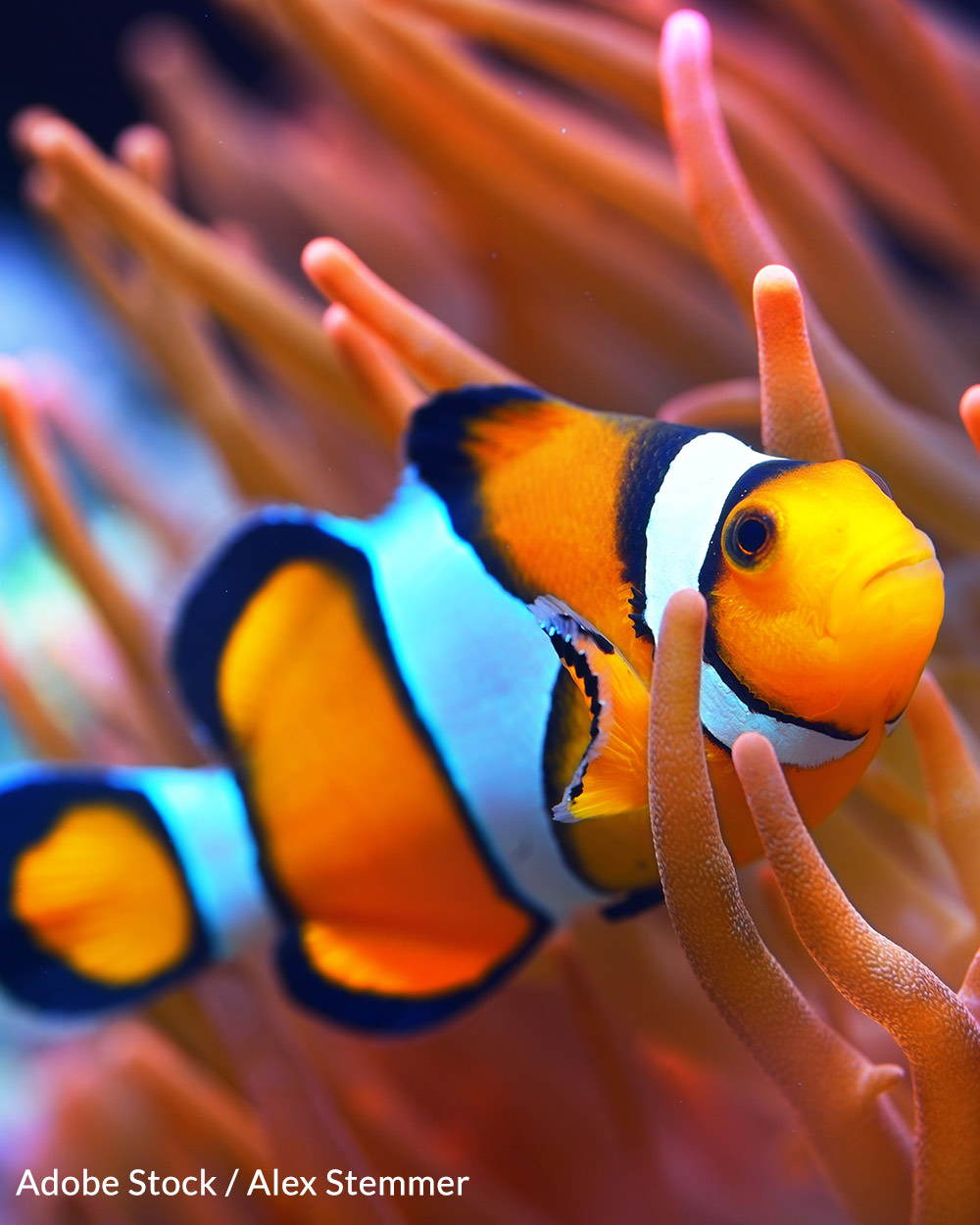 Help us save the clownfish before it is too late!
