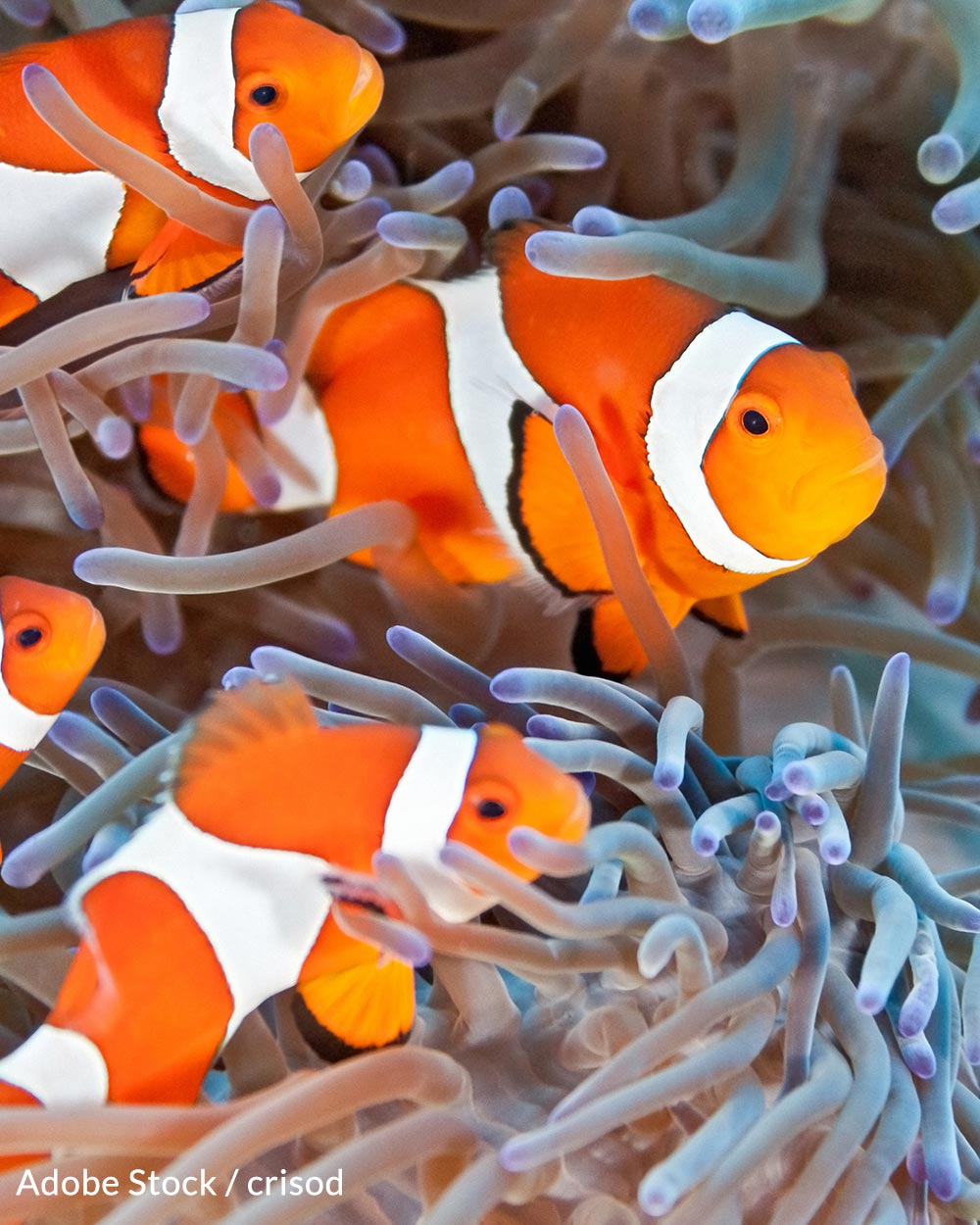 The clownfish is not currently considered endangered by the US Fish and Wildlife Service.