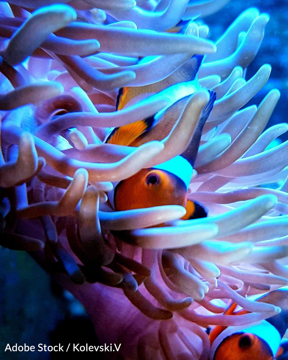 Clownfish populations are rapidly decreasing due to the climate crisis.