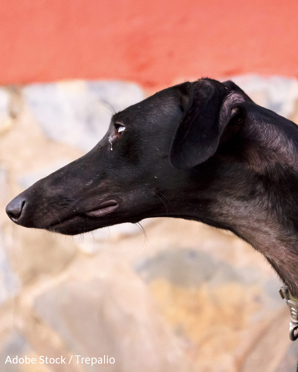 After a Greyhound is no longer able to hunt, it maybe abandoned or killed.