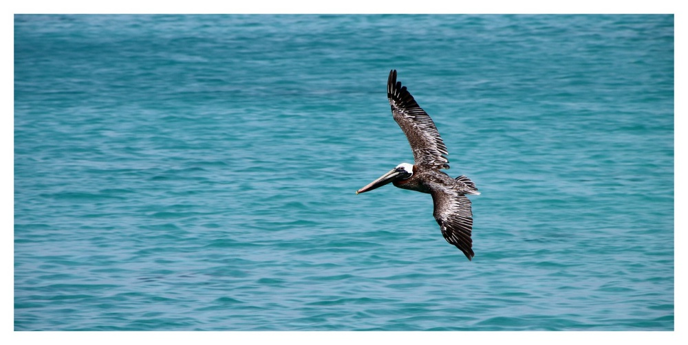 """32 Pelicans Mutilated In Southern California: """"Someone is intentionally breaking Brown Pelican's wings."""""""