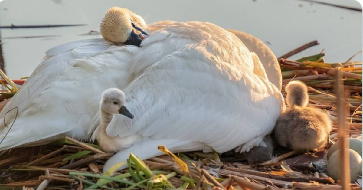 Grieving Papa Swan Parents Babies Alone In Heartbreaking Viral Photo