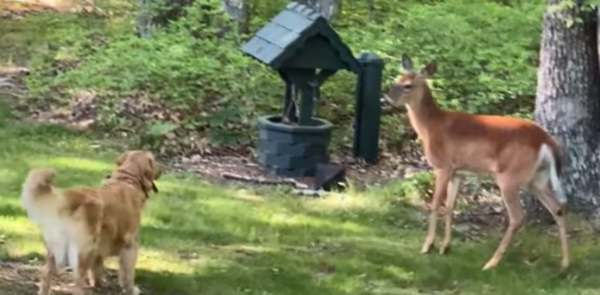 Deer Develops Friendship With A Golden Retriever Who Was Protecting The Yard