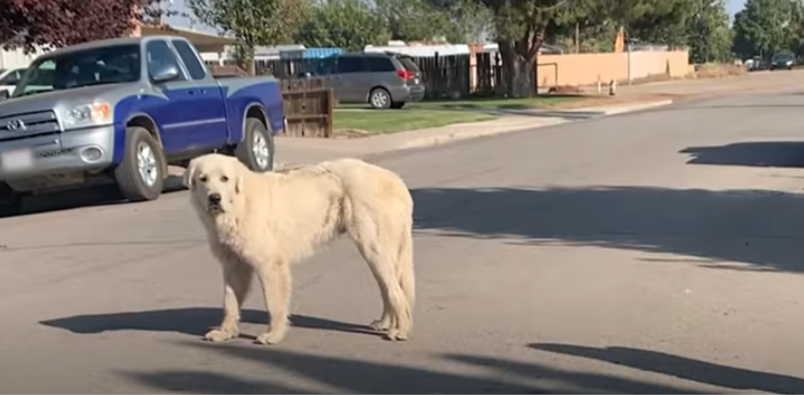 Great Pyrenees Rescued From The Streets Finds A Forever Home