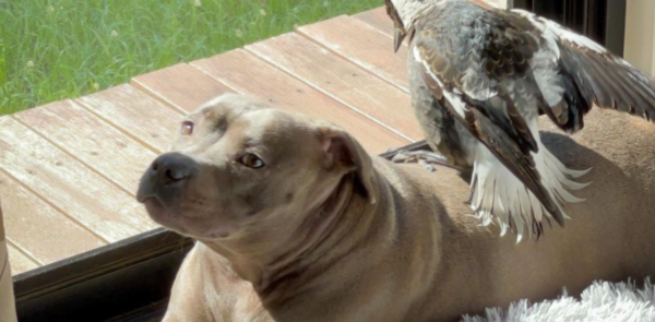 Magpie Starts Barking After Being Adopted By A Dog