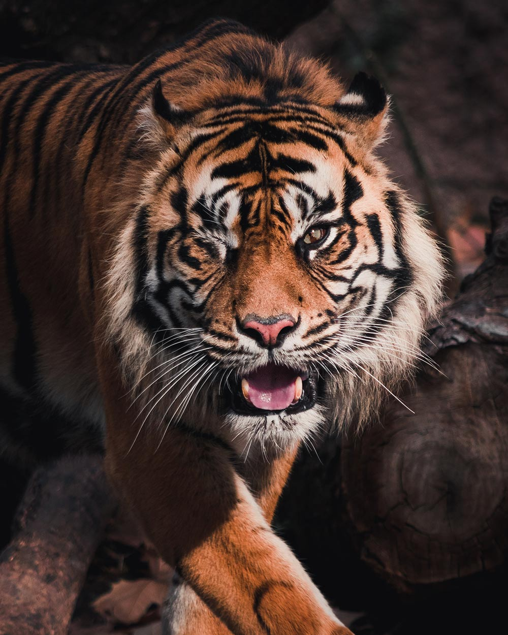 Anti-poaching efforts in Bangladesh are critical to saving this endangered species.
