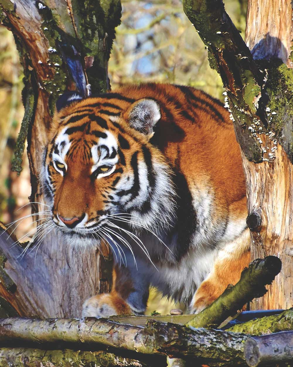 The Bengal tiger population fell from 440 in 2004 to 106 in 2015, an all time low.