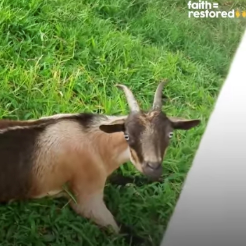 Sweet Little Goat Learns to Walk After Animal Sanctuary Refused to Give Up on Her