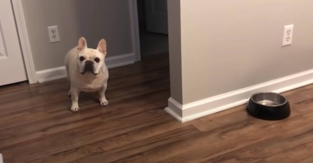 Dieting Dog Whines and Cries at His Bowl When His Human Tells Him He's Had Enough