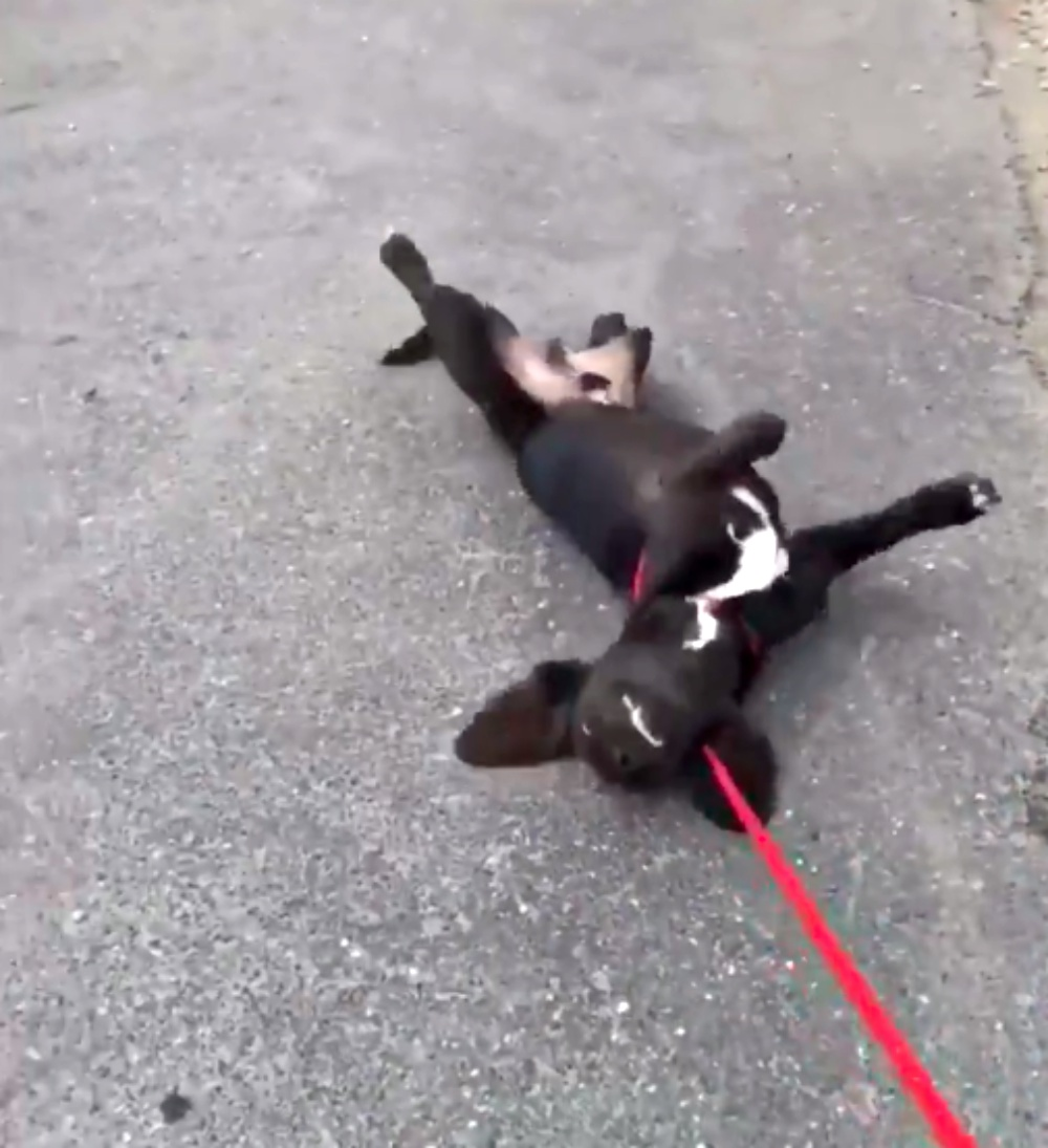 Dog Dramatically Flops On His Side Toward The End Of Every Walk Because He Doesn't Want To Go Home