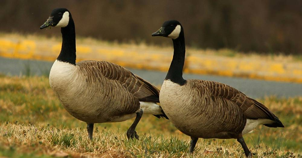 Canada Goose Waits Outside Wildlife Hospital While Her Injured Mate Gets Surgery