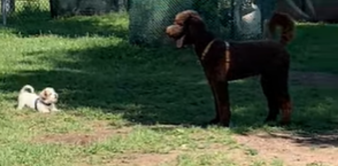 Puppy Instantly Regrets Initiating A Game Of Tag With A Big Dog