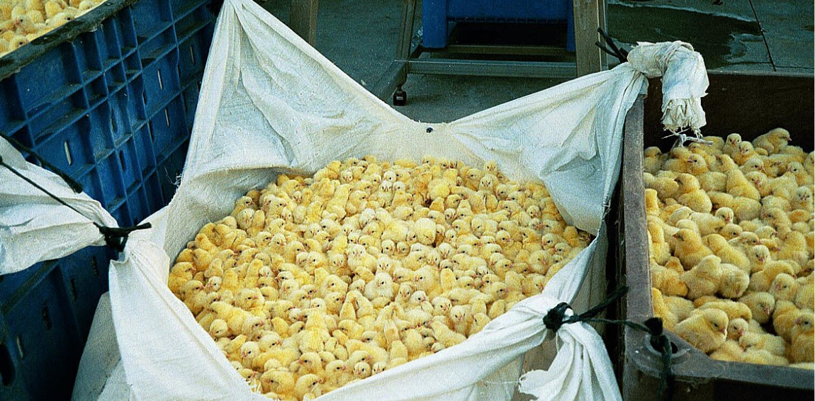 France Will No Longer Allow Gassing And Crushing Male Chicks Starting 2022