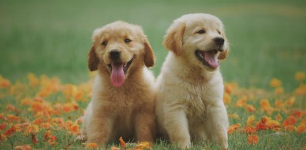 Labrador Dad Teaches His Puppies How To Swim