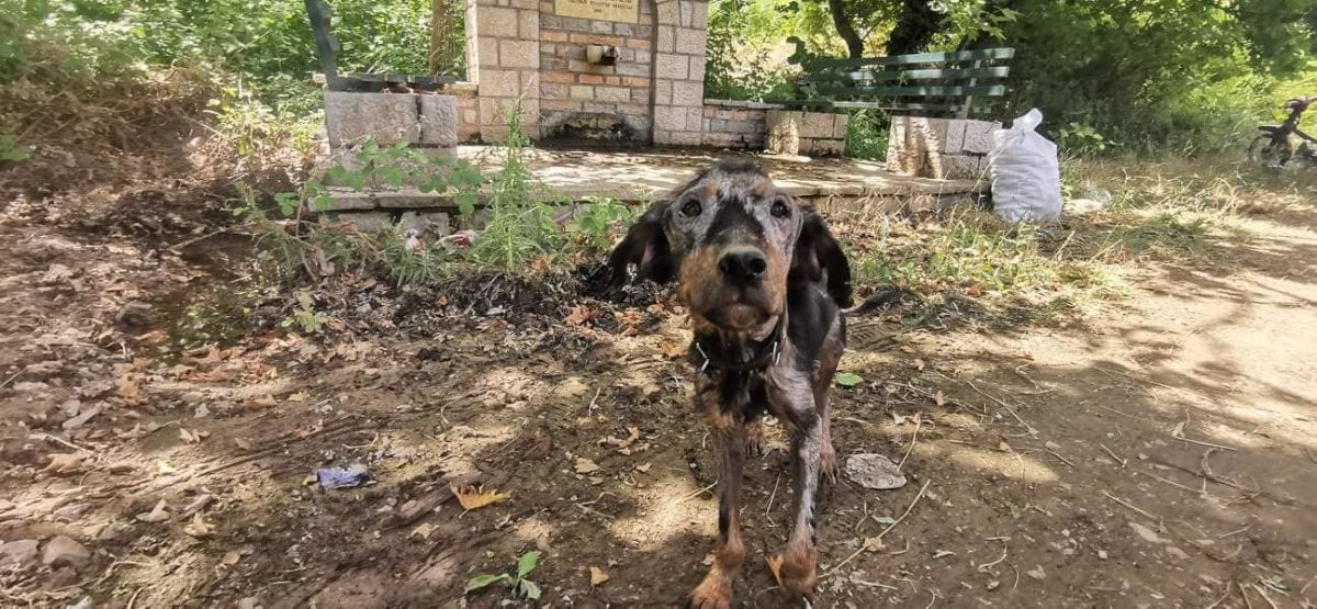 Starving Dog In Greece Is Now Recovering Thanks To Rescuers