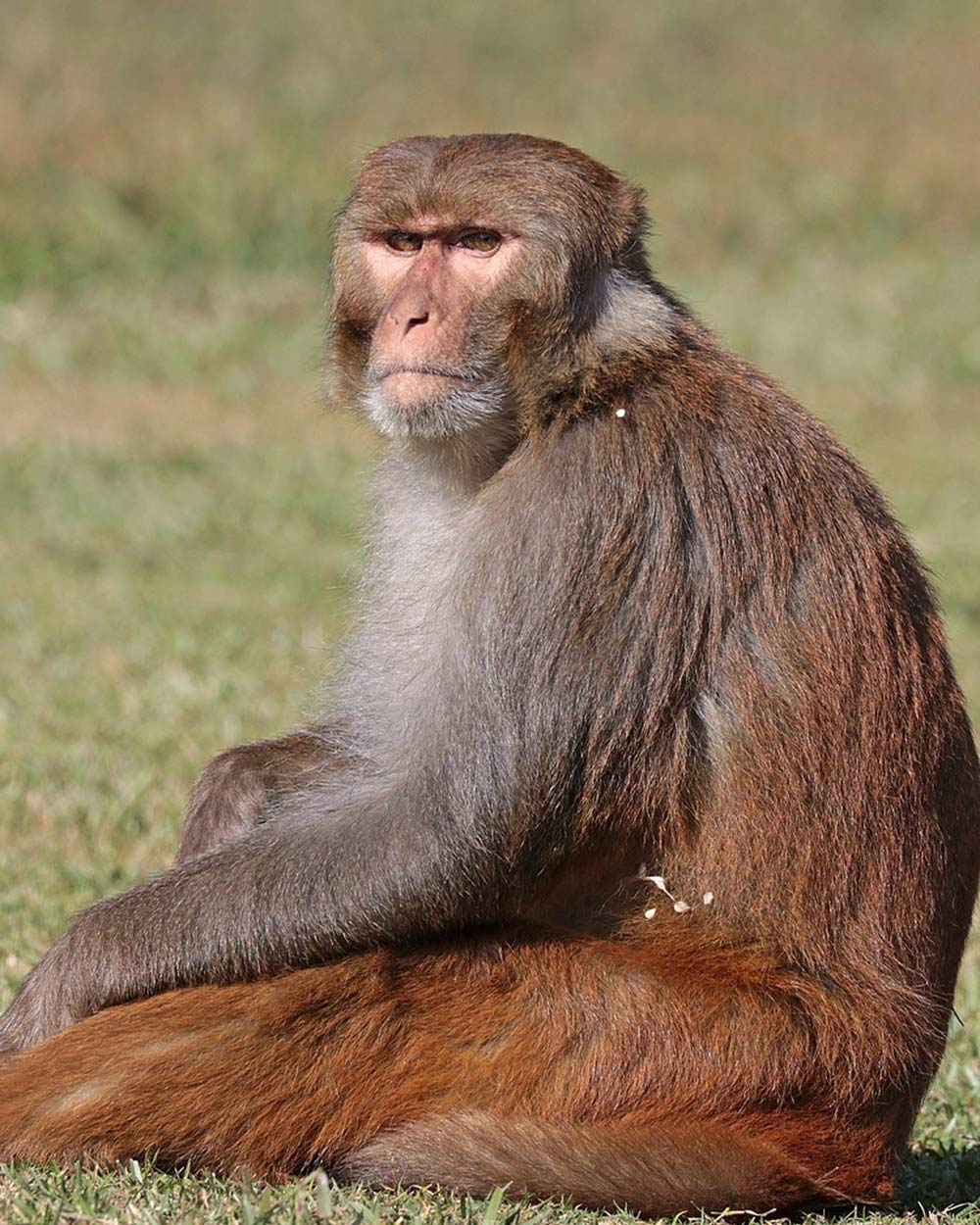 Rhesus Macaques are the most common type of monkey used in vaccine testing.
