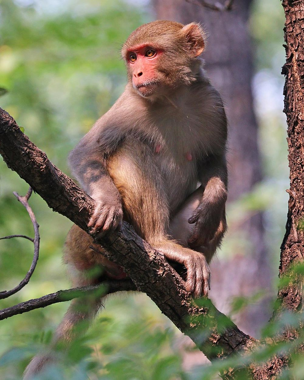 The COVID pandemic has led to a shortage of monkeys available for testing.