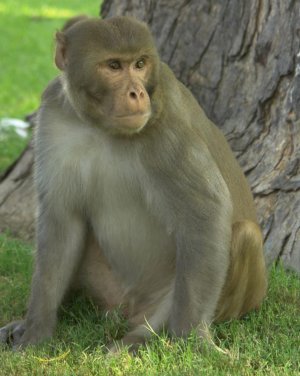 China stopped exporting Rhesus Macaques when the COVID pandemic began to spread worldwide in 2020.