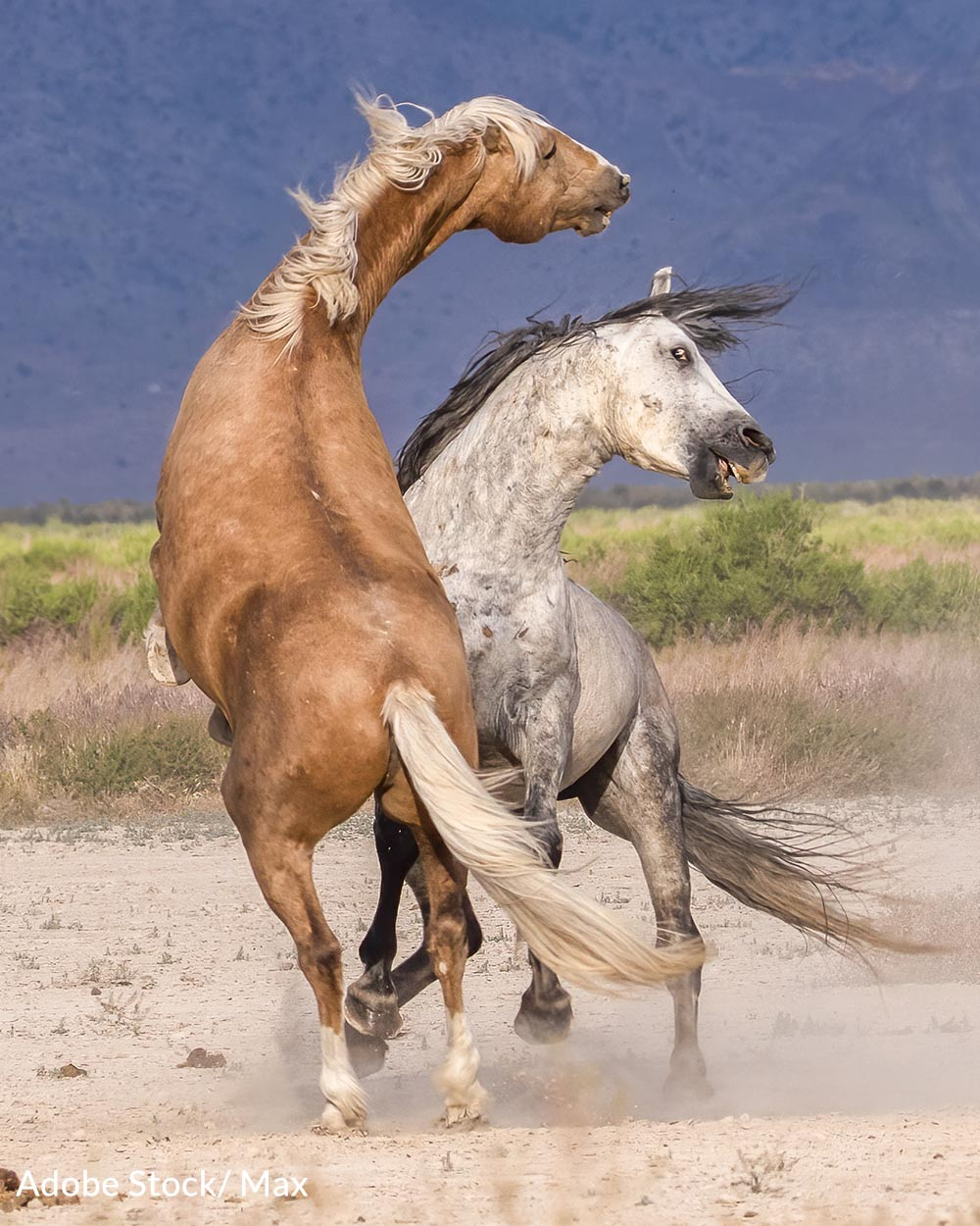 Horses can be badly hurt or killed in fights.