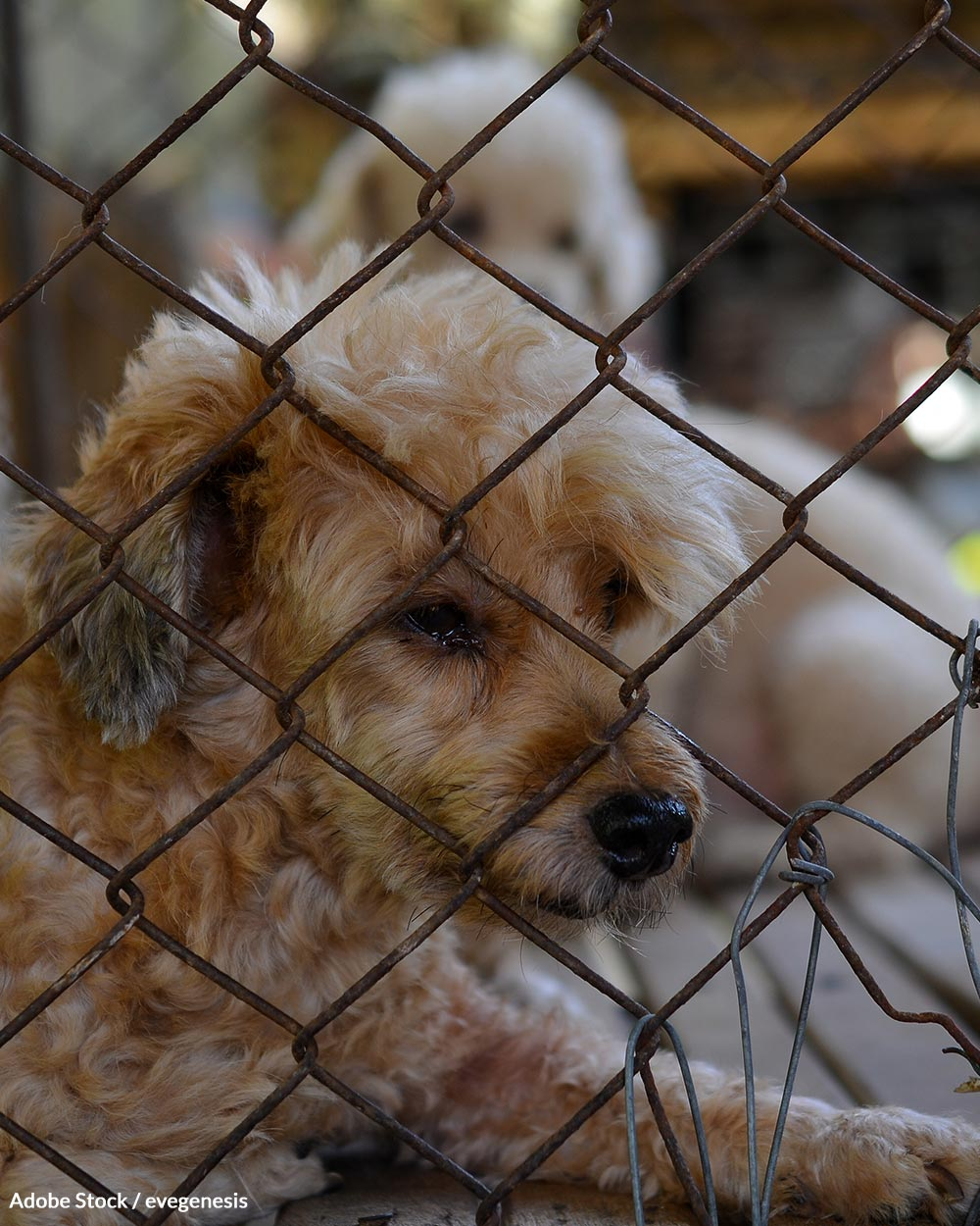 Thousands of puppy mills in the US use loopholes to avoid violating the Animal Welfare Act.