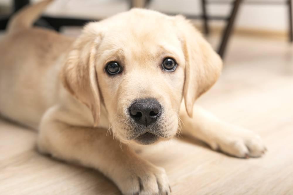 Closeup of puppy looking at camera
