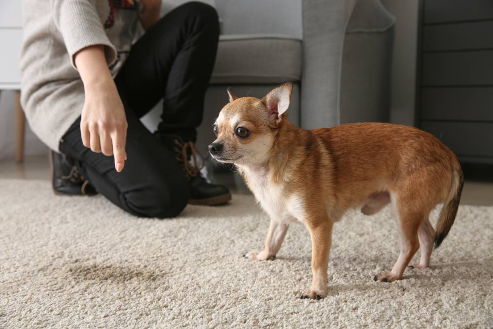 Dog pees on carpet