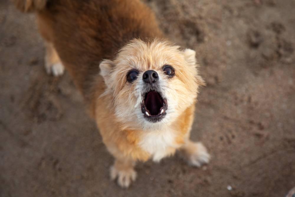 Dog barking toward camera