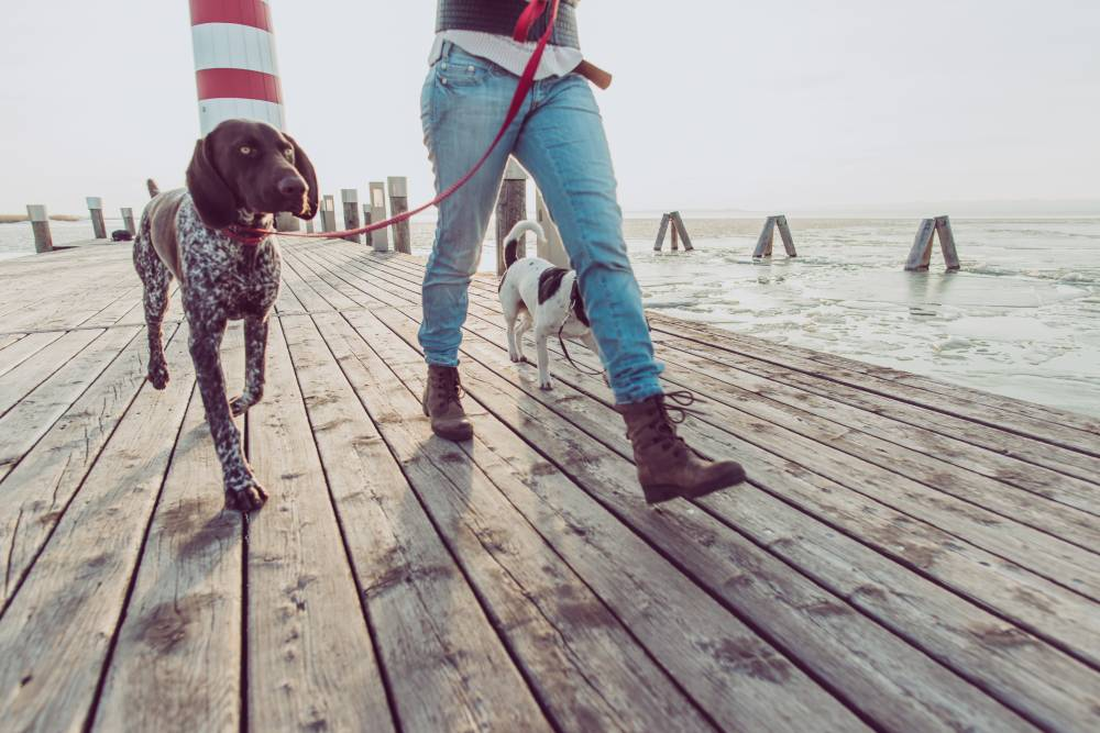 Dog going for a walk on boardwalk