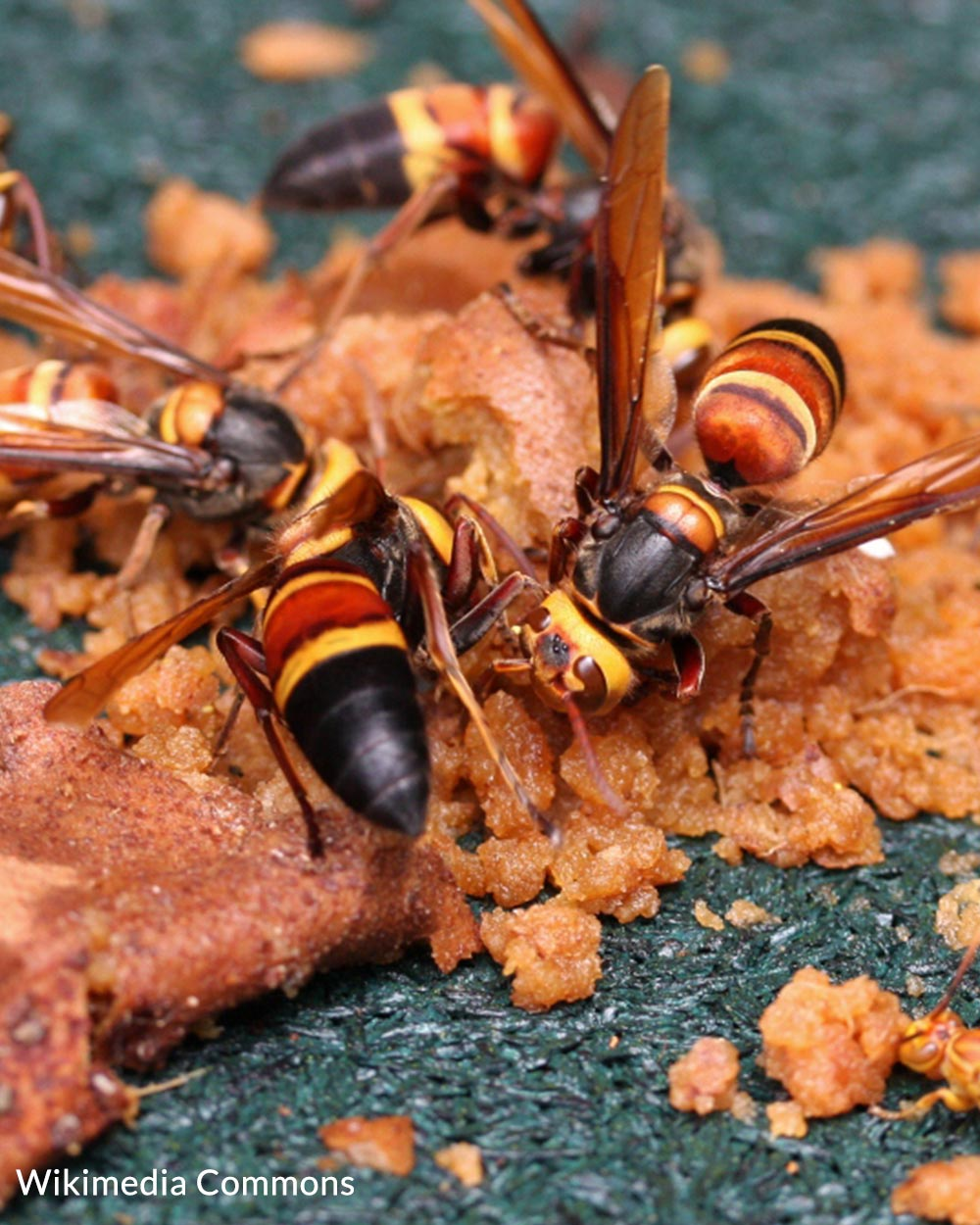 Asian giant hornets closely resemble other hornets and pollinators.