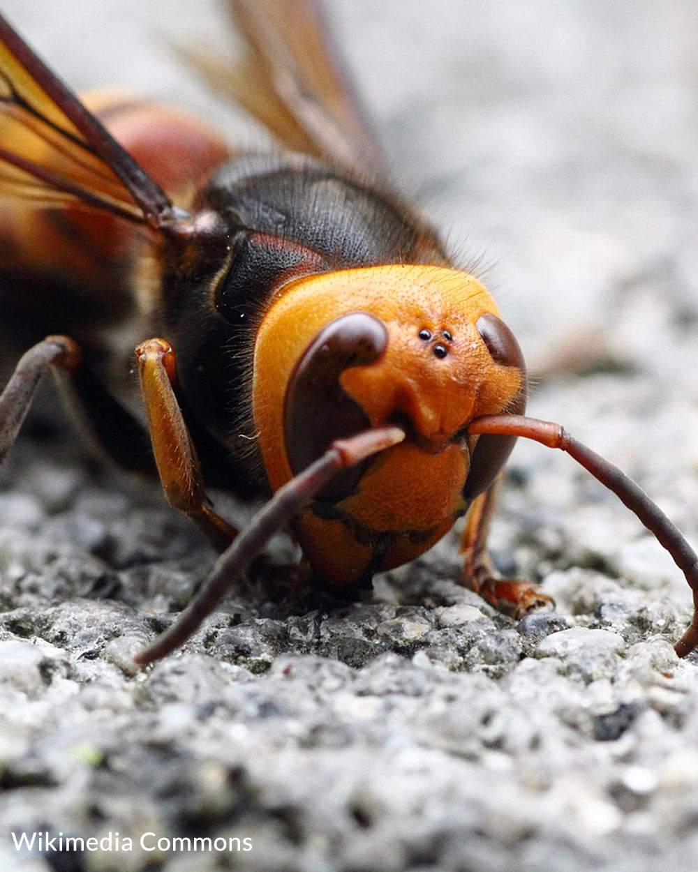 Asian giant hornets can surround and kill a hive of bees in less than an hour.