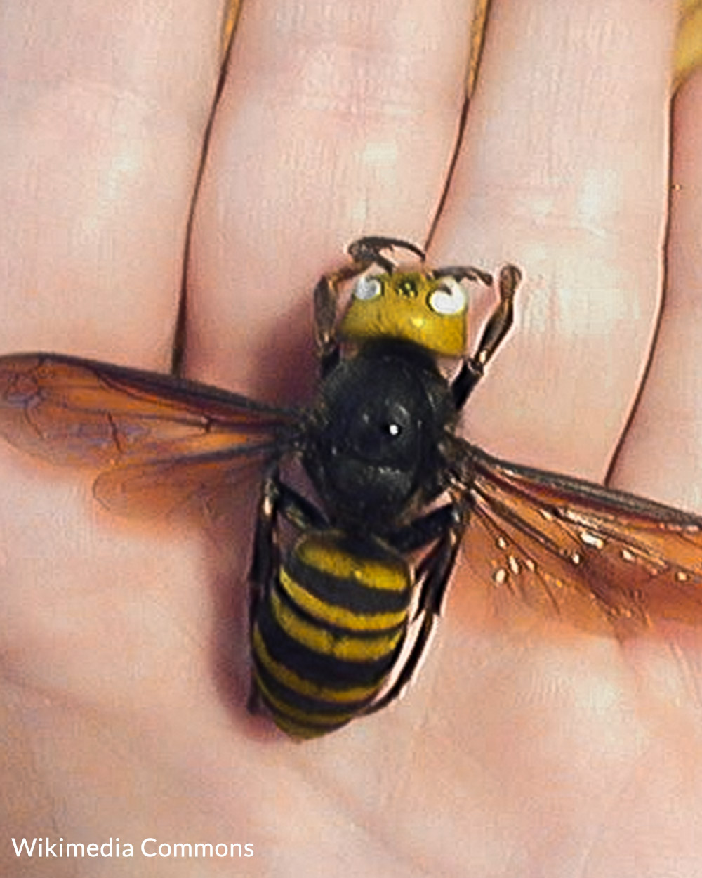 Asian giant hornets can be deadly to people with allergies to bee and hornet venom.
